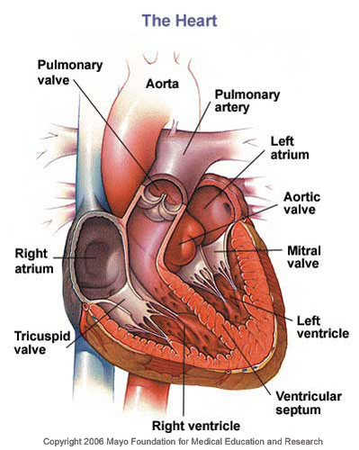 The Heart Diagram With Labels. organ Diagram+of+heart